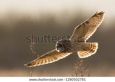 Short-eared Owl Hunting #1280502781