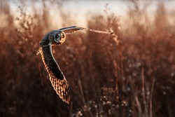 Short eared owl in flight hunting