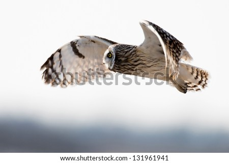 Short-eared owl in flight over a meadow during winter