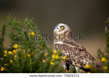 Short eared owl in gorse looking up