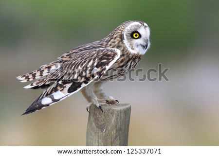 Short-Eared Owl on a fencepost in England.