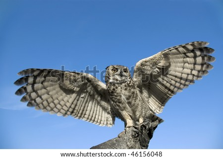 Short-eared owl opening his wings against a deep blue sky.