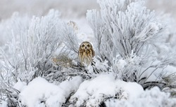 Short-eared owl perched in a bush looking for prey