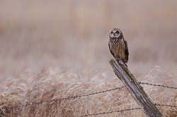 Short-eared Owl perched on a barbwire fence post in agricultural / farm / grazing / prairie / grasslands in western Minnesota; bird of prey