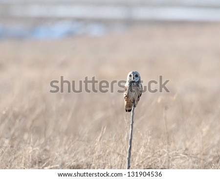 Short-eared owl perched on a branch during a heavy winter snowstorm