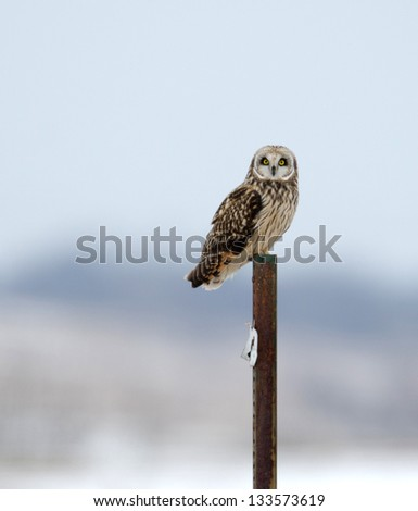 Short-eared owl perched on a post during a heavy winter snowstorm