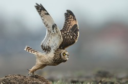 Short eared owl take off