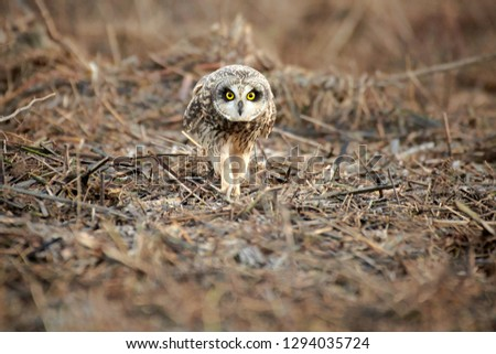 Short Eared Owl Wild bird #1294035724