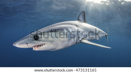 Short fin mako shark swimming just under the surface, offshore, about 50 kilometres past Western Cape in South Africa.  This picture was taken during a blue water baited shark dive.