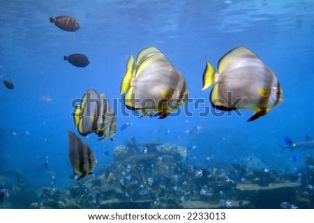 Short-finned Batfish (Platax novaemaculatus) school swimming over coral reef. - stock photo