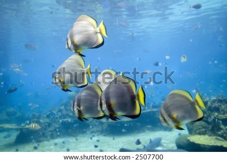 Short-finned Batfish (Platax novaemaculatus) school swimming over coral reef.