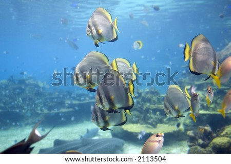 Short-finned Batfish (Platax novaemaculatus) school swimming over coral reef with Rabbitfish / Spinefoot (Siganus Corallinus)