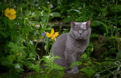short haired british blue cat sat in a domestic garden looking at the camera