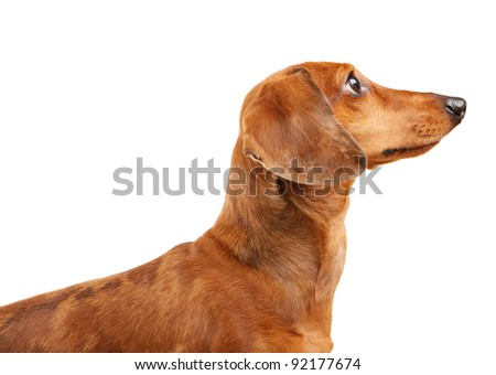 short haired Dachshund Dog