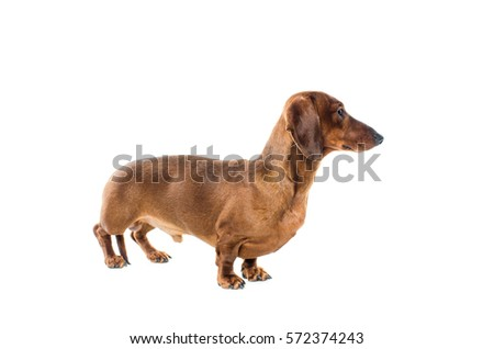 short haired Dachshund Dog isolated over white background #572374243