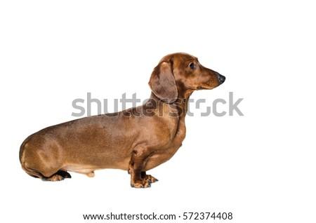 short haired Dachshund Dog isolated over white background #572374408
