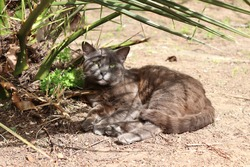 Short haired korat cat lying on the ground under a green plant looking toward the camera.