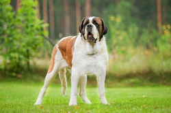 Short-haired saint bernard dog standing on the lawn