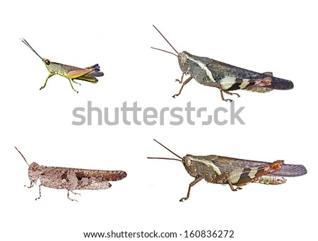 short-horned grasshopper isolated on white background