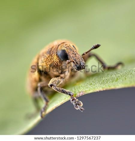 Short-nosed snout beetle or weevil on leaf. Macro photo