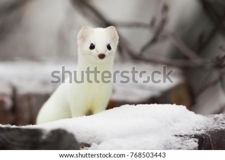 Short-tailed Weasel Mustela erminea in white winter fur at Simpson Lake, Yukon, Canada