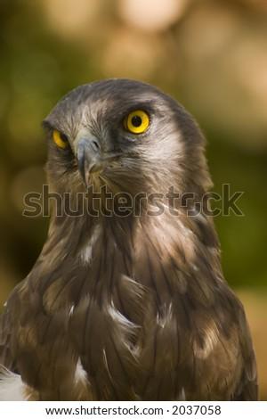 Short toed eagle ( circaetus gallicus ) close up