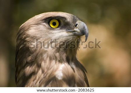 Short toed eagle ( circaetus gallicus ) close up