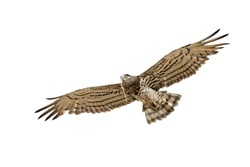 Short-toed snake eagle Circaetus gallicus in flight with serpent in beak isolated on white background