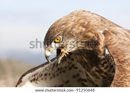 Short-toed snake eagle eating a chick (circaetus gallicus)