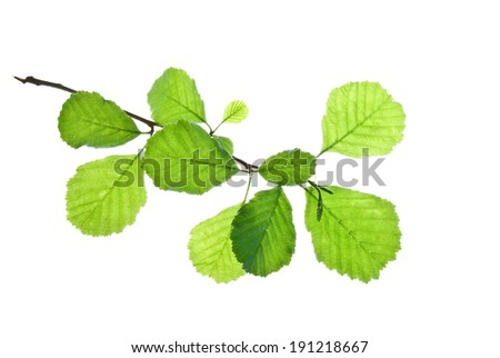 Short twig of alder with green leaves isolated on white