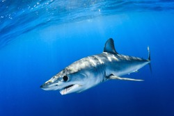Shortfin mako shark close encounter