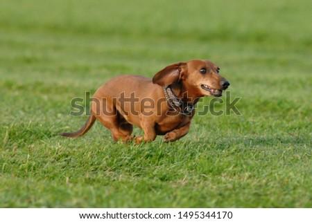 Shorthair dachshund on a meadow #1495344170