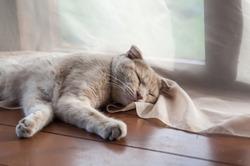 Shorthair pale ginger Scottish fold cat sleeps on the wooden floor of the summer house