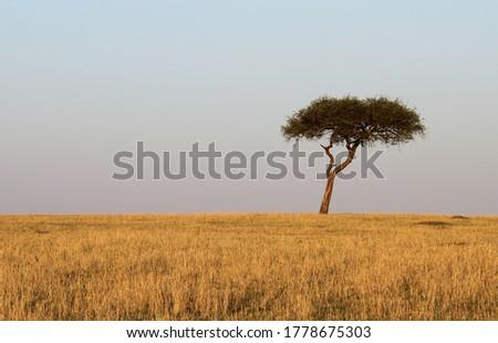 shot in Africa, alone tree in the savana  Foto stock ©