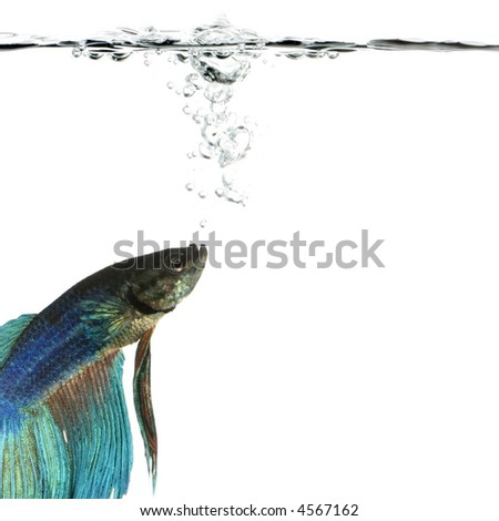 Shot of a blue Siamese fighting fish under water in front of a white background
