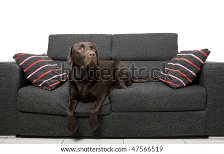 Shot of a Chocolate Labrador Relaxing on the Sofa