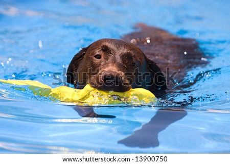 Shot of a Chocolate Labrador retrieving a toy from the water