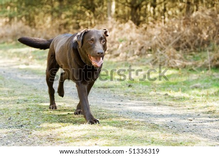 Shot of a Chocolate Labrador Running in the Countryside - stock photo
