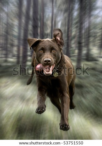 Shot of a Chocolate Labrador Running Through the Forest