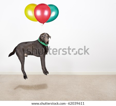 Shot of a Cute Chocolate Labrador Being Lifted by Balloons