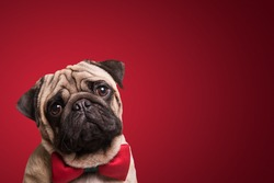 Shot of a cute pug puppy on a red background.