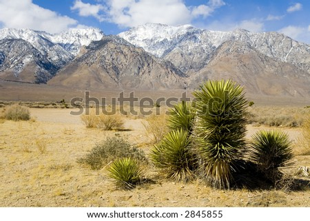 Shot of a desert plant near Death Valley with snow capped mountains in the background.