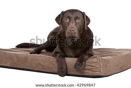 Shot of a Handsome Chocolate Labrador on His Memory Foam Bed. Comfy!