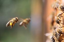 Shot of a honeybee carrying pollen into the beehive.