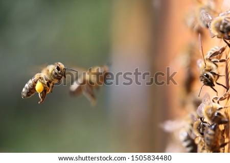 Shot of a honeybee carrying pollen into the beehive. Сток-фото ©