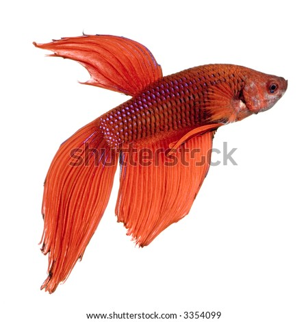 shot of a red Siamese fighting fish under water in front of a white background - stock photo