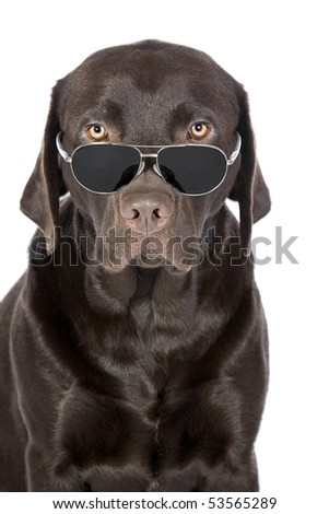 Shot of a Very Cool Chocolate Labrador in Aviator Sunglasses