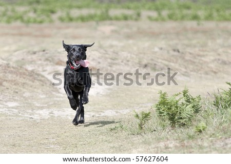 Shot of a Young Black Labrador Running in the Countryside