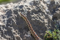 Shot of an adult Leopard Snake or European ratsnake, Zamenis situla, an endemic snake species in the Maltese Islands, slithering over limestone rock