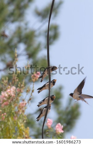 Shot of four barn swallow birds sitting on a wire and the mother is feeding them one by one in mukteshwar. stock photo